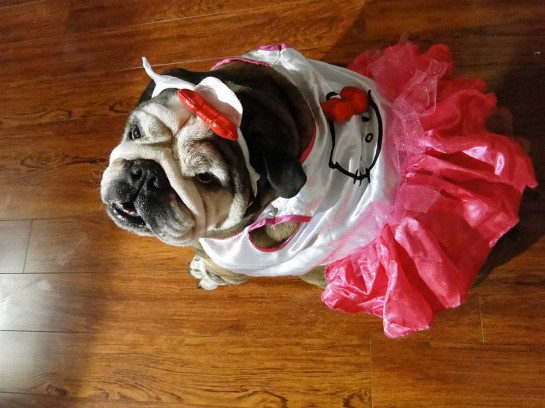 dog dressed in Hello Kitty clothes